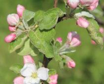 blomstrende frukttrær på lizas småbruk