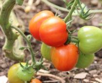 tomatdyrking på lizas småbruk