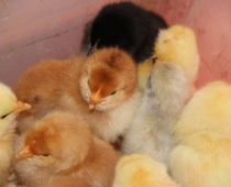 nyklekte kyllinger på lizas småbruk