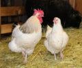 Høner – 5 steg til å starte hønsehold