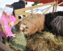 sauene om vinteren på lizas småbruk
