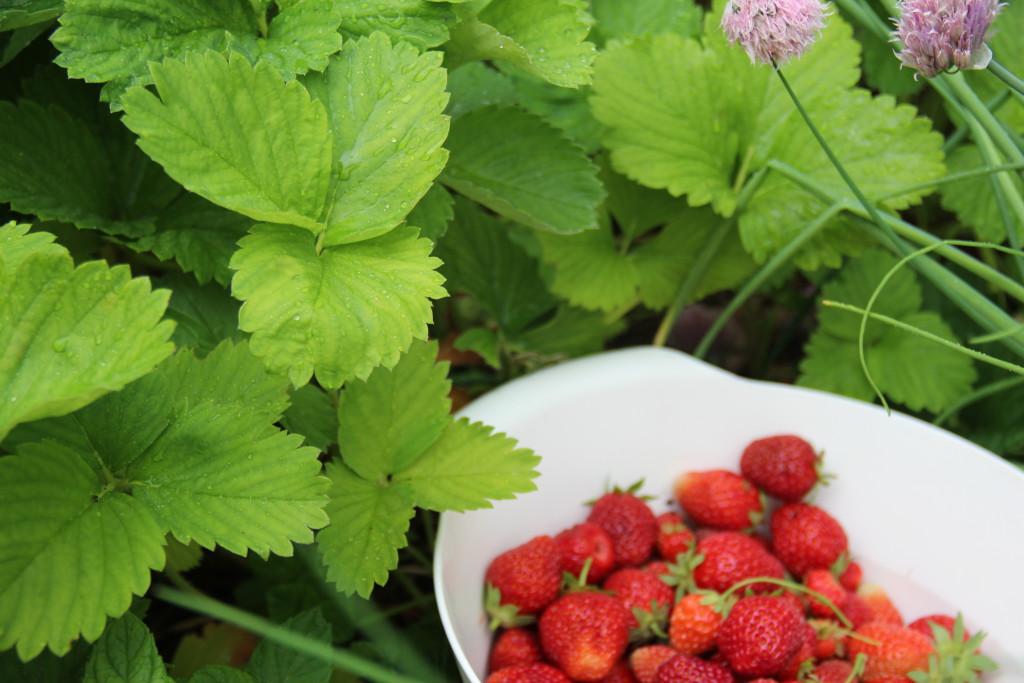 jordbærplanter