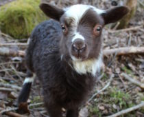 nyfødte lam på lizas småbruk