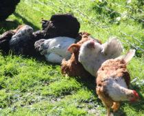 høner ute på lizas småbruk