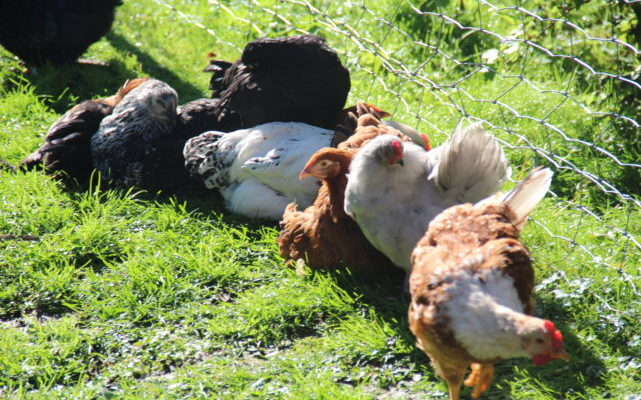 høner i sola