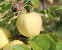 epler på lizas småbruk