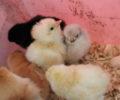 Høner og kyllinger! Lys sussex, Plymouth Rock, RIR, blandinger