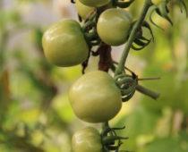 grønne tomater på lizas småbruk