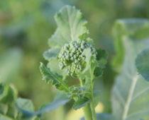 brokolini på lizas småbruk