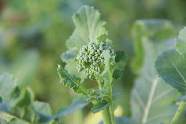Høst eller vår?! Innhøsting av broccoli, bjørnebær i november!