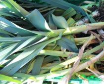 purreinnhøsting på lizas småbruk