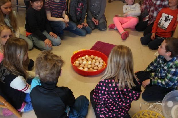 Rugeegg og kyllinger på skolen