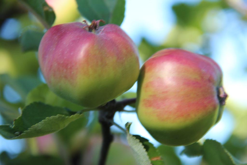 Lizas Småbruk epler kurs frukthagen
