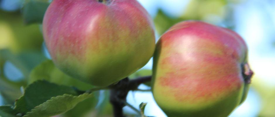 Epler – eplecider – epletre – eplesyteltøy