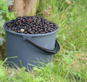 Lizas Småbruk bær innhøsting plukking kurs sylting