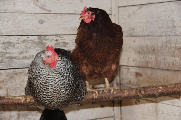 Høner – i samarbeid med LevLandlig