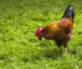 Spørsmål og svar om hønsehold