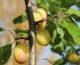 frukt- og bærhagen: hva trives?
