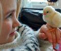 Hønsehold – hvordan starte?
