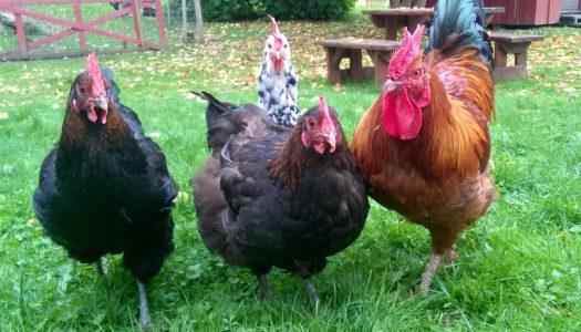 Hønsehold for nybegynnere