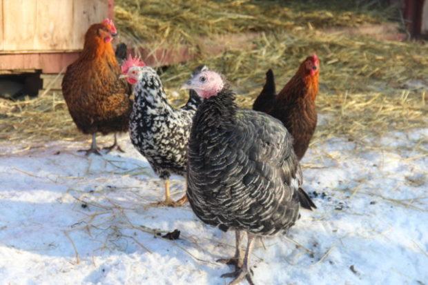 Høner, kalkun, ender og gås om vinteren – våre erfaringer